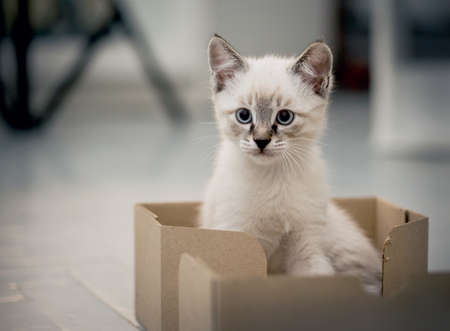 A kitten with blue eyes sits in a cardboard box. Small cat. Standard-Bild