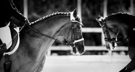 Equestrian sport The leg of the rider in the stirrup, riding on a horse. Portrait sports stallion in the bridle. Dress of horses in the arena. Horseback riding. Not color image. Standard-Bild