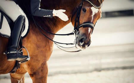 Equestrian sport. Praise the horse. Portrait sports stallion in the bridle. The leg of the rider in the stirrup, riding on a red horse. Dressage of the bay horse in the arena. Horseback riding.