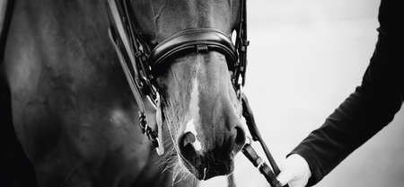 Portrait sports stallion in the double bridle. Horse muzzle close up. Dressage of horses. Equestrian sport. Horseback riding. Not color image.