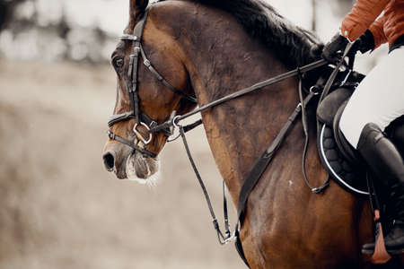 Equestrian sport. Portrait sports brown stallion in the bridle. The leg of the rider in the stirrup, riding on a bay horse. Dressage of horses in the arena. Horseback riding.