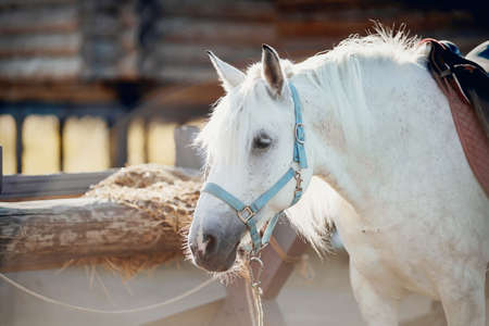 Portrait of a gray horse in a blue halter. A gray sports stallion is resting. Rural scene. Equestrian sport. Horseback riding.