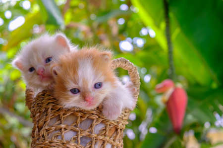 babies: Cute red and cream little kittens sitting in a basket surrounded by green outdoors Stock Photo