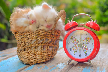Cute red and cream little kittens sitting in a basket with red alarm clock surrounded by green outdoors