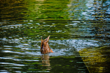 Mallard duck head down in a river taking a bath. Stock Photo