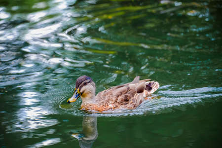 Beautiful shots of nature. Mallards swimming on a river in park , Christchurch, New Zealand Stock Photo