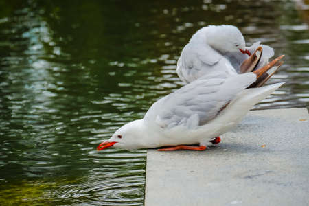 Seagull drinking water from the river in Christchurch, New Zealand Stock Photo