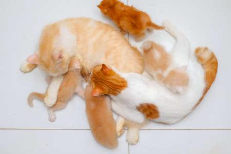 Mother cat breastfeeding little kittens on the floor