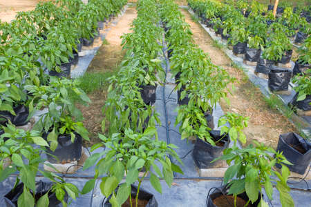 Red chili plant  in farm with modern system use poly bag , poly pipe and fartigation system.