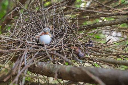 Egg and newborn babies hatch in the nest Stockfoto