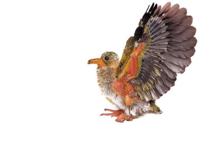 An image of a baby bird , Jambu fruit-dove isolated on white background Stock Photo