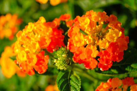Lantana camara is a species of flowering plant within the verbena family (Verbenaceae).