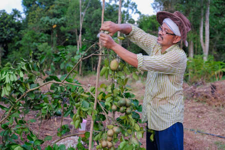 A senior farmer pruning leaves  of lemon tree with the help of cutters  green lime  tree Stock fotó