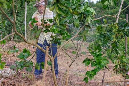 Handsome  farmer watering lime tree in organic orchard in the evening