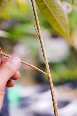 Gardener preparing durian tree branch for grafting with knife. Stock fotó
