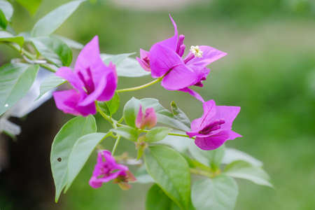 The exotic bougainvillea flower in nature