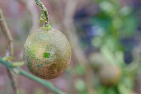 Disease in citrus fruit.Lemon tree canker disease.