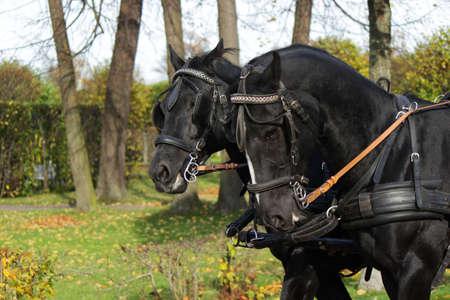 contemporaneous: Two black horses
