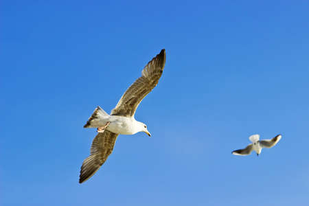 Pair of seagulls flying in the sky photo
