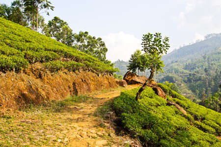 Path in fresh green tea plantation at mountain hillside of Nuwara Eliya, Sri Lanka, Ceylon photo