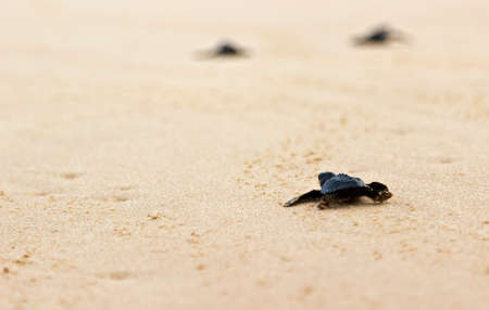 Little baby turtles on their free way to the sea. Close up photo