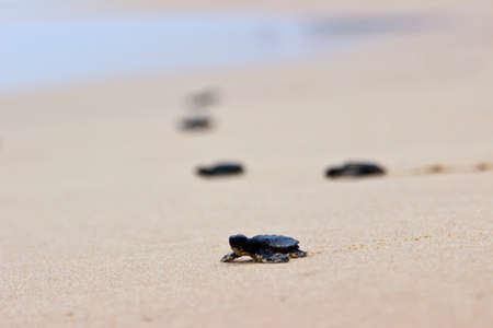 Little baby turtles on their free way to the sea