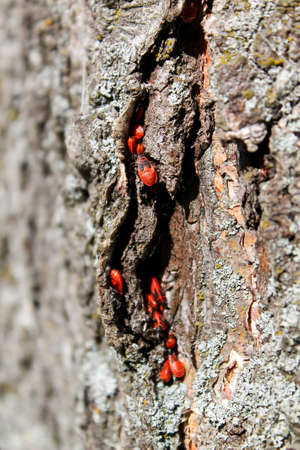Firebug red insect colony on tree trunk bark photo
