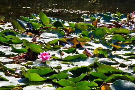 Blomming Pink Lotus Flowers or water lily