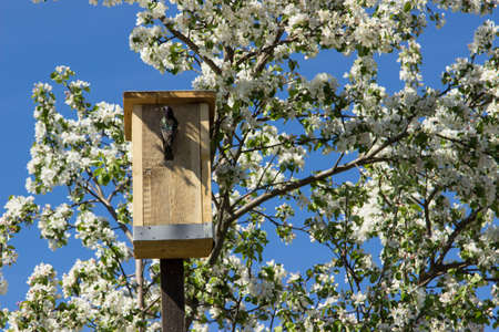 nesting: Blossoming apple tree with nesting box Stock Photo
