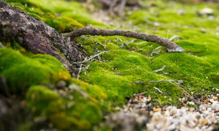 nutrient: a branch root sprouting out from into the green moss in search of nutrient