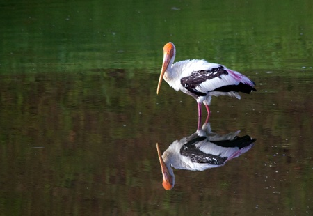 peace stork with mirror image photo