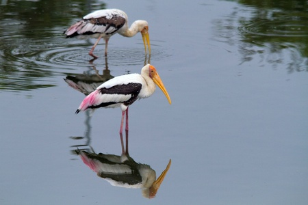 mirror image of two storks Stock Photo - 9339409