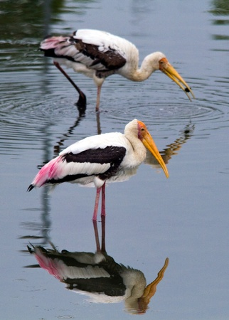 two storks fishing in vertical