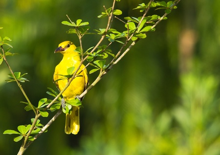 black-naped oriole photo