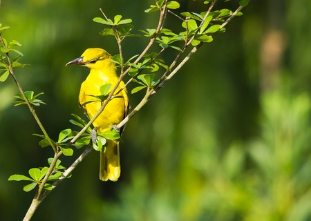 black-naped oriole bird looking for food in the morning sun Stock Photo
