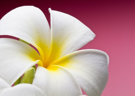 tropical flower white frangipani with red background Stock Photo