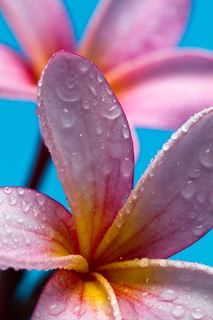 pink frangipani flower closeup with water droplets Stock Photo