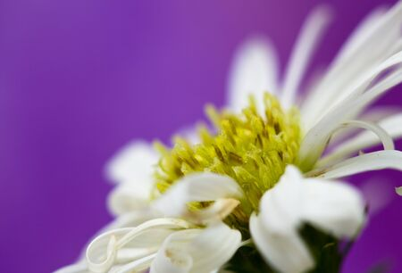 Close up on white daisy flower petal in graduation bouquet with purple background in landscape orientation Stock Photo