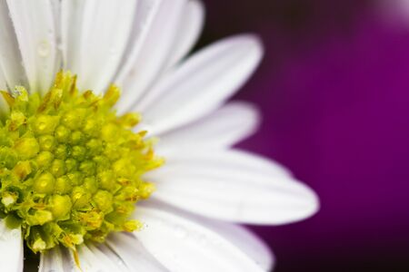 Close up on white daisy flower in graduation bouquet with purple background in landscape orientation