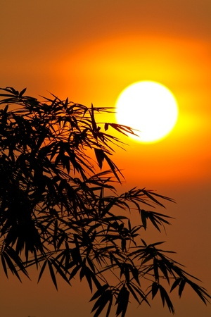 the bamboo leaves seen as silhouette in front of the morning sunrise