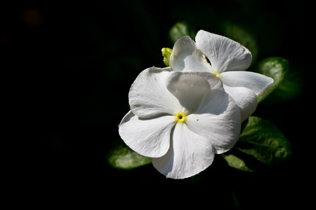 little white flower isolated on dark background photo