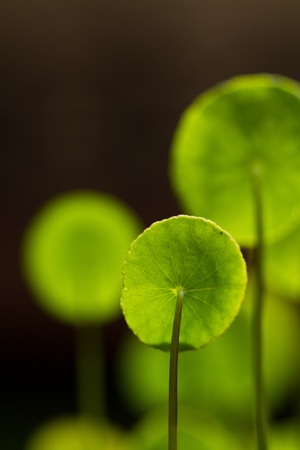 Centella asiatica leaves under the bright morning sun with dark background Stock Photo