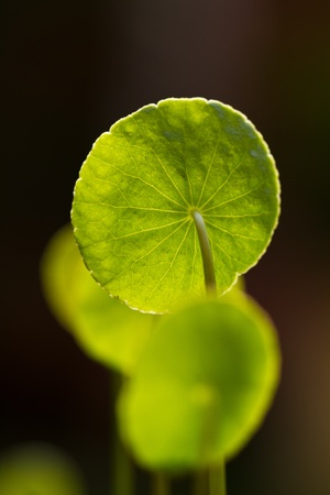 Centella asiatica leaves under the bright morning sun isolated with dark background