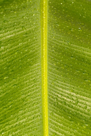 Close up view of rain drops on the banana leaf in portrait orientation with midrib and flash on photo