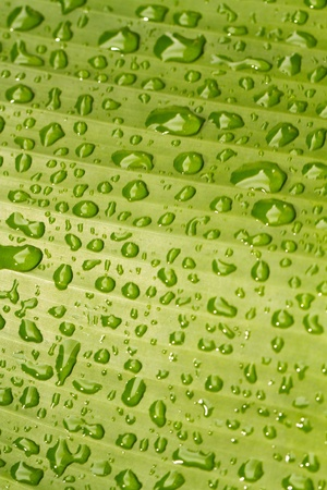 Close up view of rain drops on the banana leaf in portrait orientation Stock Photo - 10713632