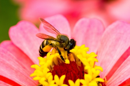 bee working on the pollen of a pink flower