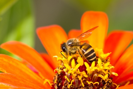 honey bee working on a yellow flower in the morning Foto de archivo