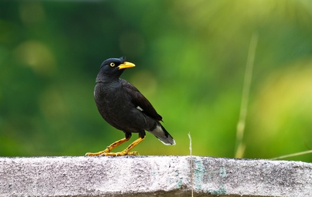 white vented myna (Acridotheres grandis) looking sideways