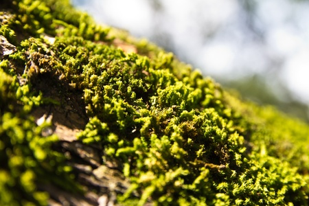 fungi woodland: green moss on a tree bark in bright daylight close up view Stock Photo