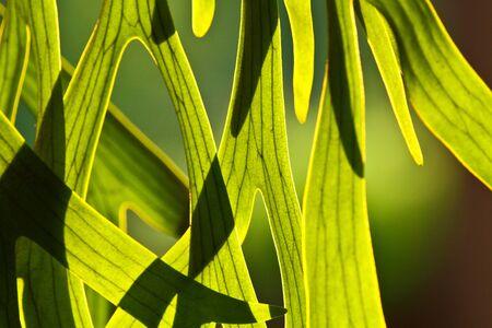 platycerium: Platycerium coronarium leaves against the morning sun Stock Photo